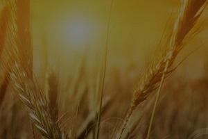 corn-field-300x200